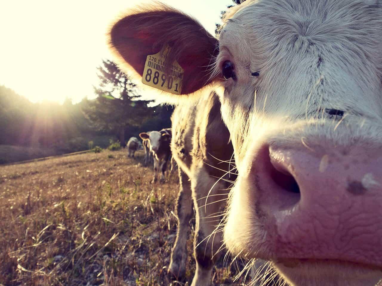 Hormel Foods Kühe