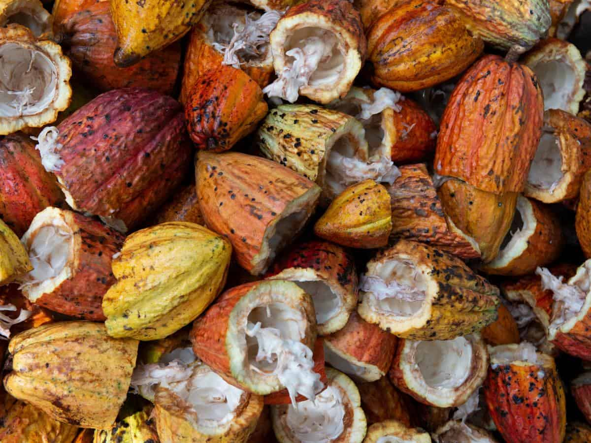 Kakaobohnen von Mondelez